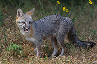 Gray Fox in late spring, Central Texas Hill Country..
