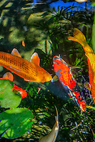 Koi Fish in a Pond Ornamental varieties of domesticated common carp (Cyprinus carpio) Koi varieties are distinguished by coloration, patterning, and scalation. Some of the major colors are white, black, red, yellow, blue, and cream. The most popular category of koi is the Gosanke