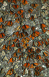 The Gathering - Monarchs..El Rosario Monarch Butterfly Sanctuary, Mexico. Print 1552
