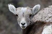 Immature Bighorn Sheep, Badlands National Park, South Dakota