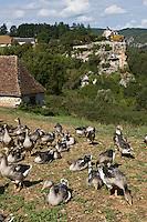 Europe/France/Midi-Pyrénées/46/Lot/Vallée de la Dordogne/Lacave: Env du château de Belcastel: Troupeau d'oies de la ferme du Berthou