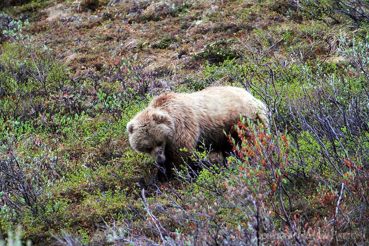 Brown bear foraging