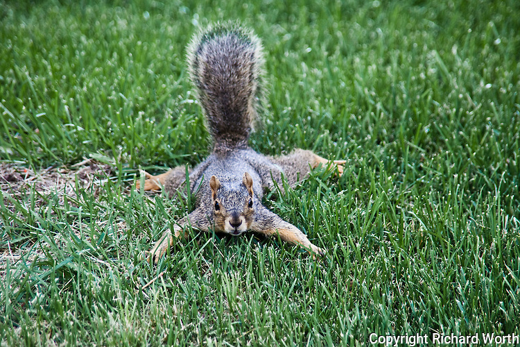 A startled Eastern fox squirrel initially reacts by taking a strong defensive position.