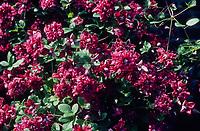 Clematis viticella 'Purpurea Plena Elegant'