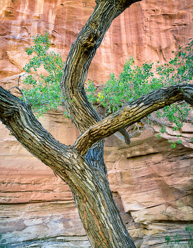 Cottonwood tree and red rock wall. Escalante National Monument.