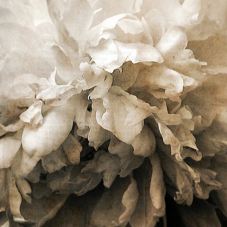 Close up of a white peony flower