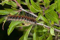 Wollafter, Frühlings-Wollafter, Raupe frisst an Schlehe, Eriogaster lanestris, Bombyx lanestris, Small Eggar