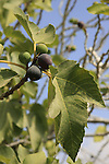 Israel, Shephelah, a Fig tree in Park Canada