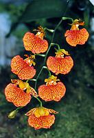 Rhynchorettia aka Odontorettia Ronald Ciesinski 'Ron's Triumph', FCC/AOS, awarded orchid hybrid of Rhynchorettia Cachet x Comparettia speciosa, 1989