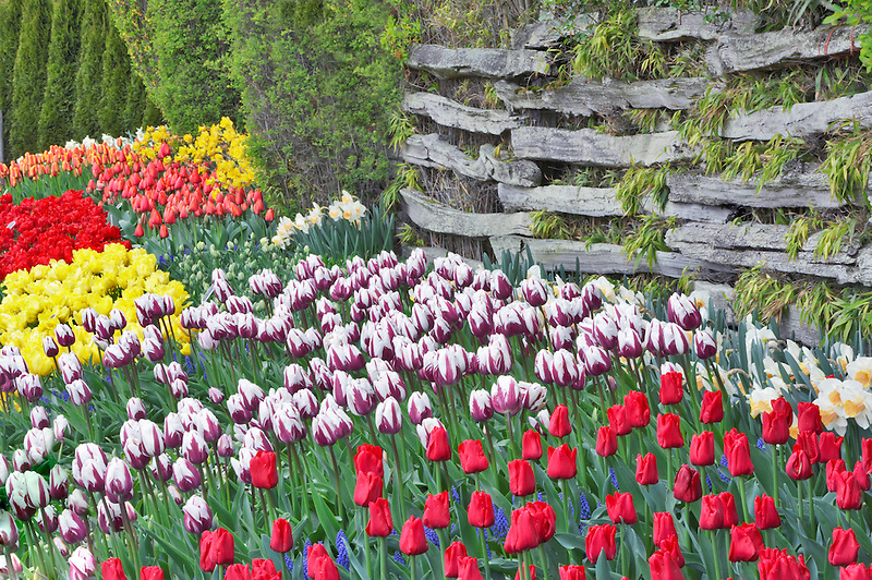 Tulips beds with split rail fence. Roozengaarde display garden. Mt. Vernon. Washington