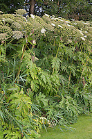 Riesen-Bärenklau, Riesenbärenklau, Bärenklau, Herkulesstaude, Herkules-Staude, Herkuleskraut, Heracleum mantegazzianum, Syn.: Heracleum giganteum, giant hogweed, cartwheel-flower, wild parsnip, wild rhubarb, giant cow parsnip, giant cow parsley
