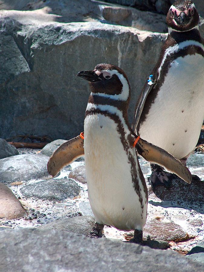 Penguins at Pt. Defiance Zoo, Tacoma, Washington, USA