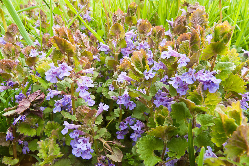 lierre terrestre (Glechoma hederacea) // Glechoma hederacea commonly known as Ground-ivy, gill-over-the-ground or Creeping Charlie