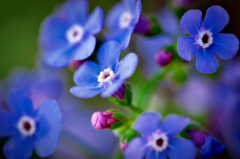 Forget me not blossoms. Sierra Nevada Mountains. California