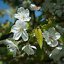 Blossom of sweet cherry 'Hollander', early May.