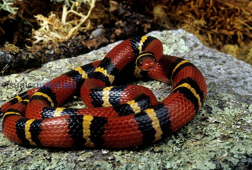 Female Scarlet King Snake (Lampropeltis triangulum elapsoides).