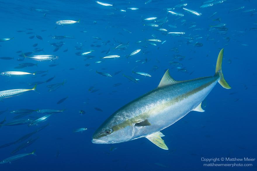 yellowtail-fish-photo-039210 jpg | Matthew Meier Photography