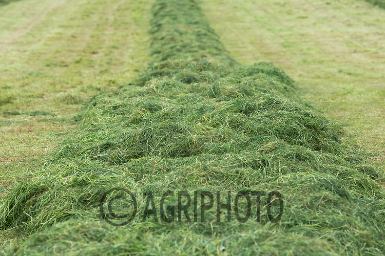 Contractors chopping the first cut of grass silage <br /> Picture Tim Scrivener 07850 303986<br /> &hellip;.covering agriculture in the UK&hellip;.
