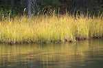 Swamp grass on a Cariboo Lake.