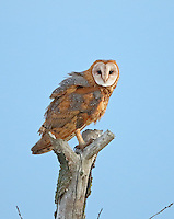 A female barn owl perches on a snag in the early morning after coursing the meadow in search of prey.<br />