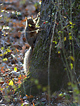 A Squirrel pauses for the photographer in the Esopus Bend Nature Preserve in Saugerties, NY, on Saturday, November 11, 2017. Photo by Jim Peppler. Copyright/Jim Peppler-2017.