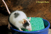 MU61-008z  Domestic pet mouse - drinking from sponge in water dish