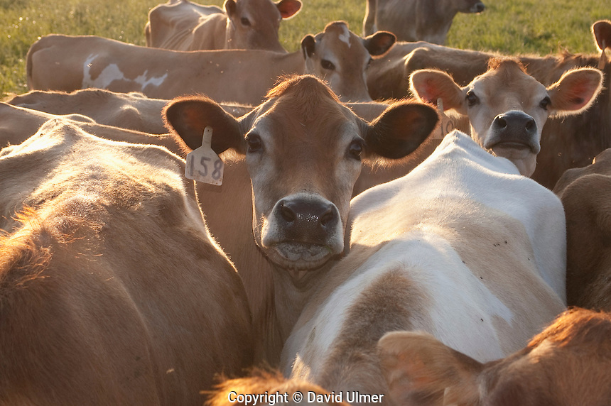 Herd of jersey dairy cows in pasture in Bond County, Illinois