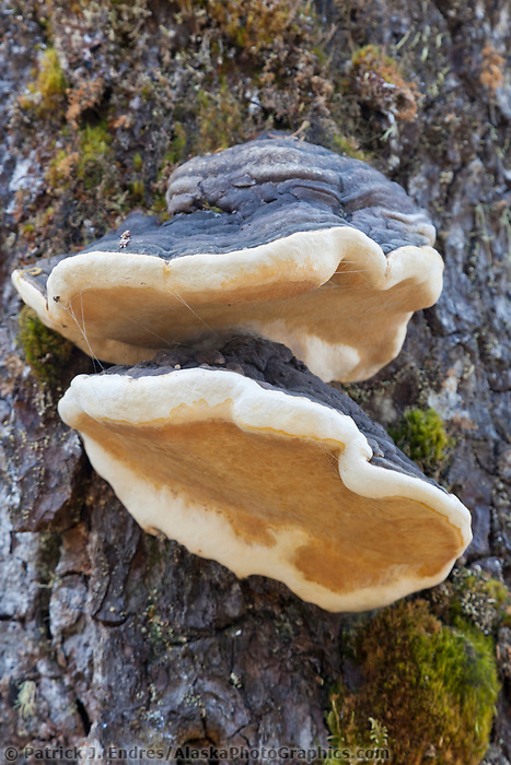 Bears bread fungus, Prince William Sound, southcentral, Alaska