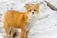 Red Fox in Alaska's Arctic, Atigun pass, Brooks range