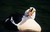 male King Eider in breeding plumage
