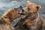 Alaska brown bears quarrel