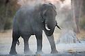 Botswana, Okavango Delta, Moremi Game Reserve, African elephant bull (Loxodonta africana), dusting