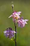 Columbine Flower, Aquilega vulgaris, Darland Banks, Kent UK,  flowering herbaceous perennial plant, The plant is a member of the poisonous Ranunculus family and all parts of the plant, including the seeds, are poisonous if ingested