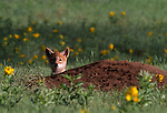 Lone coyote (Canis latrans) pup peeks over den in meadow, Rocky Mtn Nat'l Park, CO
