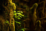 Moss covered trees and ferns at the Hoh rain forest in Washington state on the pacific coast.