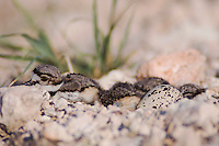 Killdeer, Charadrius vociferus, newly hatched young in nest, Willacy County, Rio Grande Valley, Texas, USA, June 2006