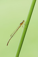 A teneral male Fragile Forktail (Ischnura posita) damsefly perches on a plant stem.