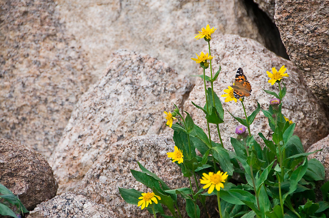 butterfly, yellow, wildflowers, rock, nature, subalpine, summer, August, morning, Rocky Mountain National Park, Colorado, USA
