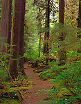 Olympic National Park, WA<br /> A trail sheltered by the dense forest canopy leads to the Sol Duc River near the Salmon Cascades