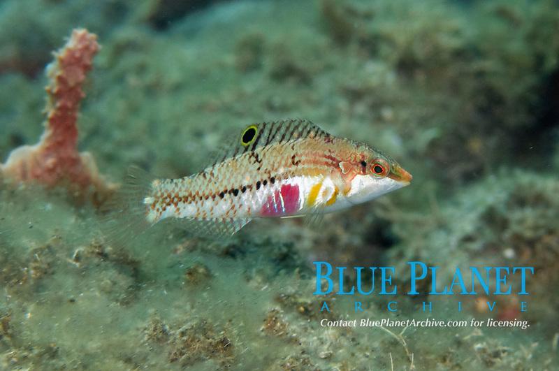 Nebulous Wrasse, Halichoeres nebulosus, Blue Water Muck dive site, Uhak River, Wetar Island, near Alor, Indonesia, Banda Sea, Pacific Ocean