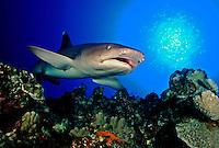 WHITETIP REEF SHARK Triaenodon obesus  HAWAII. sharks shark Triaenodon obesus   Hawaii predator dangerous menacing deadly hazardous cartilaginous horizontal underwater danger dangerous marine
