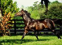 Thoroughbred stallion.