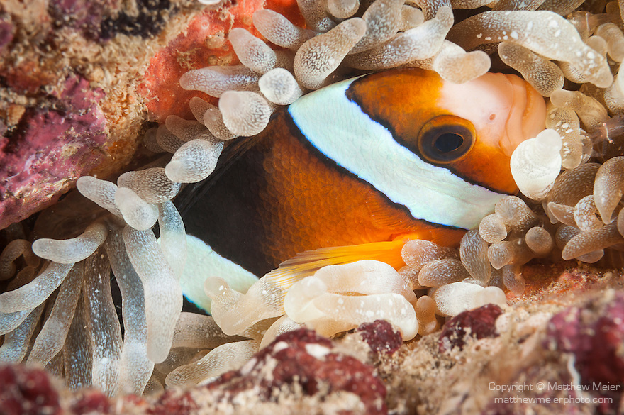 Kaimana, West Papua, Indonesia; Namatotte area, an orange and white Clark's Anemonefish (Amphiprion clarkii) hiding in a tan colored anemone tucked into the coral reef at night