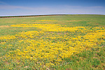 Yellow wildflowers in dried vernal pool in grass pasture field in spring, Merced Grasslands, Central Valley, California