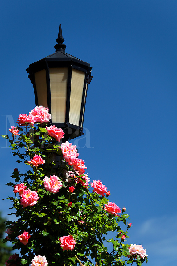 Pink roses climb a light pole, International Rose Test Garden, Washington Park, Portland, Multnomah County, Oregaon, USA
