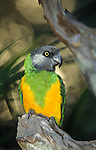 Senegal Parrot, Poicephalus senegalus, green and yellow feathers, West Africa