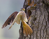 A female American Kestrel pauses after delivering food to her young.