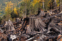 Slash burn after clearcutting, fall aspens. British Columbia Canada near Avola.
