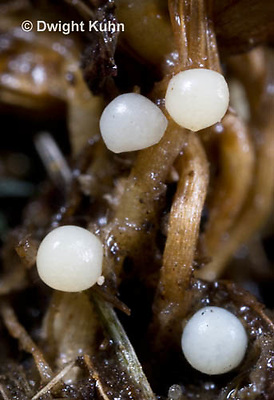 1C24-638z  Pyralis Firefly eggs laid at soil level - Lightning Bug - Photinus spp.