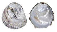 Common Oyster - Ostrea edulis